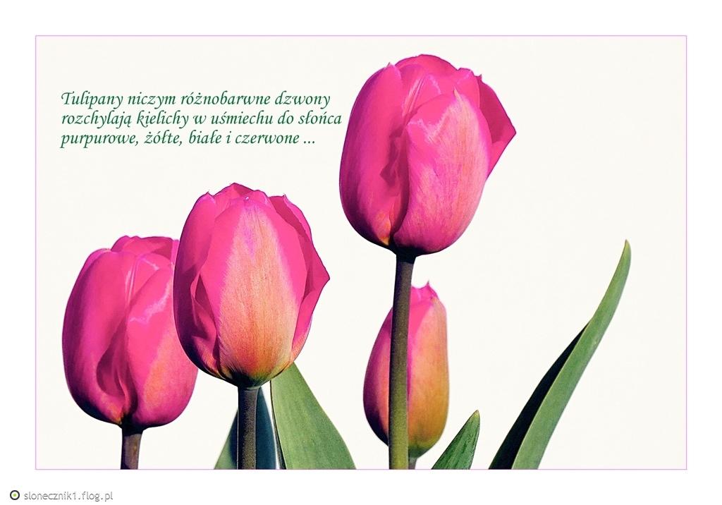 nastaje tulipanowy czas ...