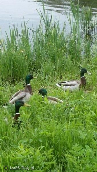 Kaczki na zielonej trawce