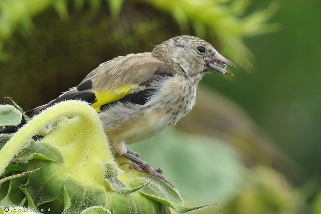Ptaki są stworzeniami czarodziejskimi ... szczygiełek