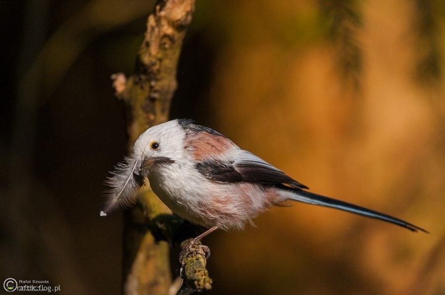 Raniuszek, Northern Long-tailed (Aegithalos caudatus) ... 2015r - Poland