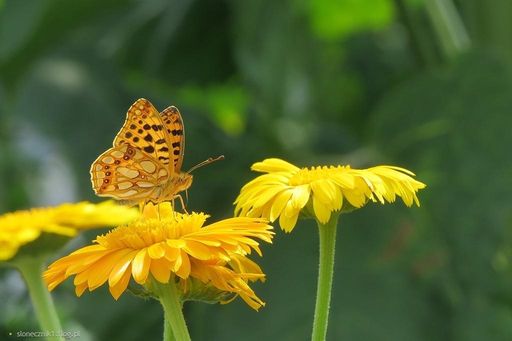 w motylim świecie pięknie jest