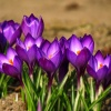 ogrodowe ... dla Was ... <br />na miły dzień  ::  Krokusy wyskakują z ziem<br />i  jak wiolinowe nuty,  a<br /> panny się chylą nad niem<br />i  i z nut układają