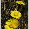 Szarości złotem kwitnące <br />…...