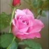 Różowa różyczka